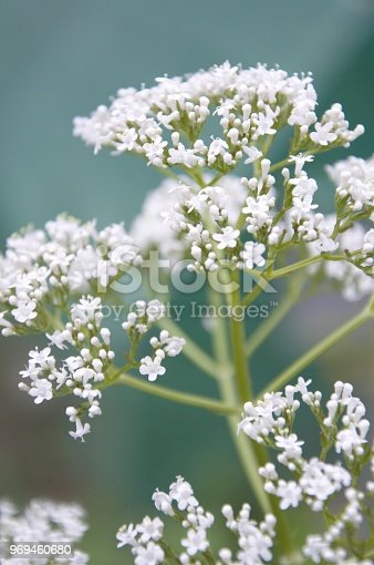 valeriana officinalis flowering in spring