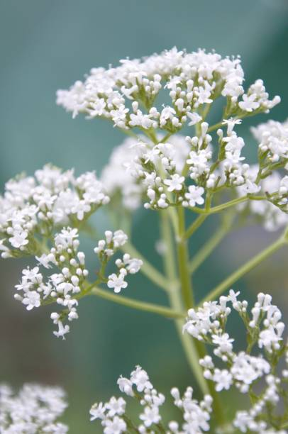Blooming valerian plant in a garden valeriana officinalis flowering in spring werken stock pictures, royalty-free photos & images