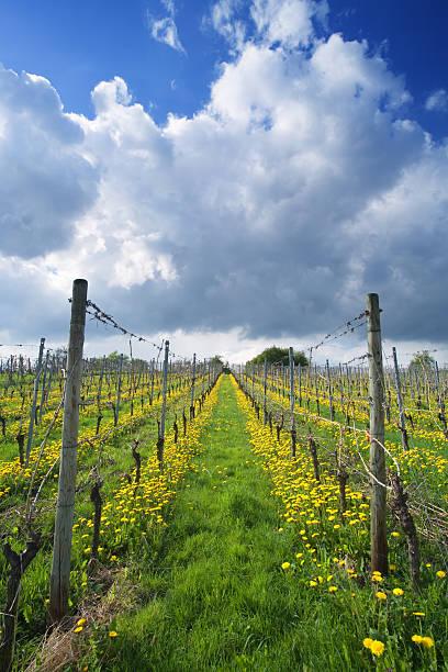 blooming vineyard stock photo