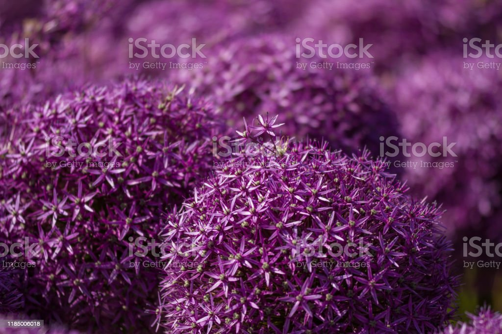 blooming violet blossoms of a garden leek (Allium) blooming violet blossoms of a garden leek (Allium) Agricultural Field Stock Photo