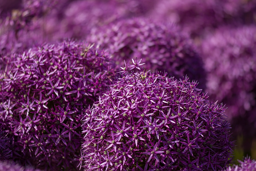 Blooming Violet Blossoms Of A Garden Leek Stock Photo - Download Image Now
