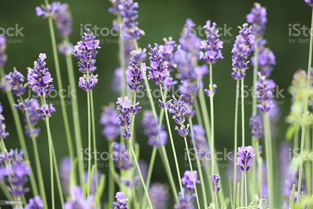 blooming violett lavender in garden royalty-free stock photo