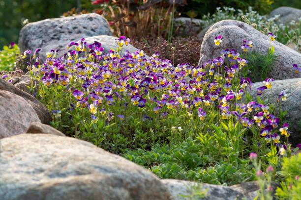 Blühende Veilchen und andere Blumen in einem kleinen Steingarten im Sommergarten – Foto