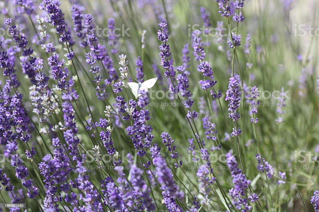 blooming violett lavender in garden stock photo