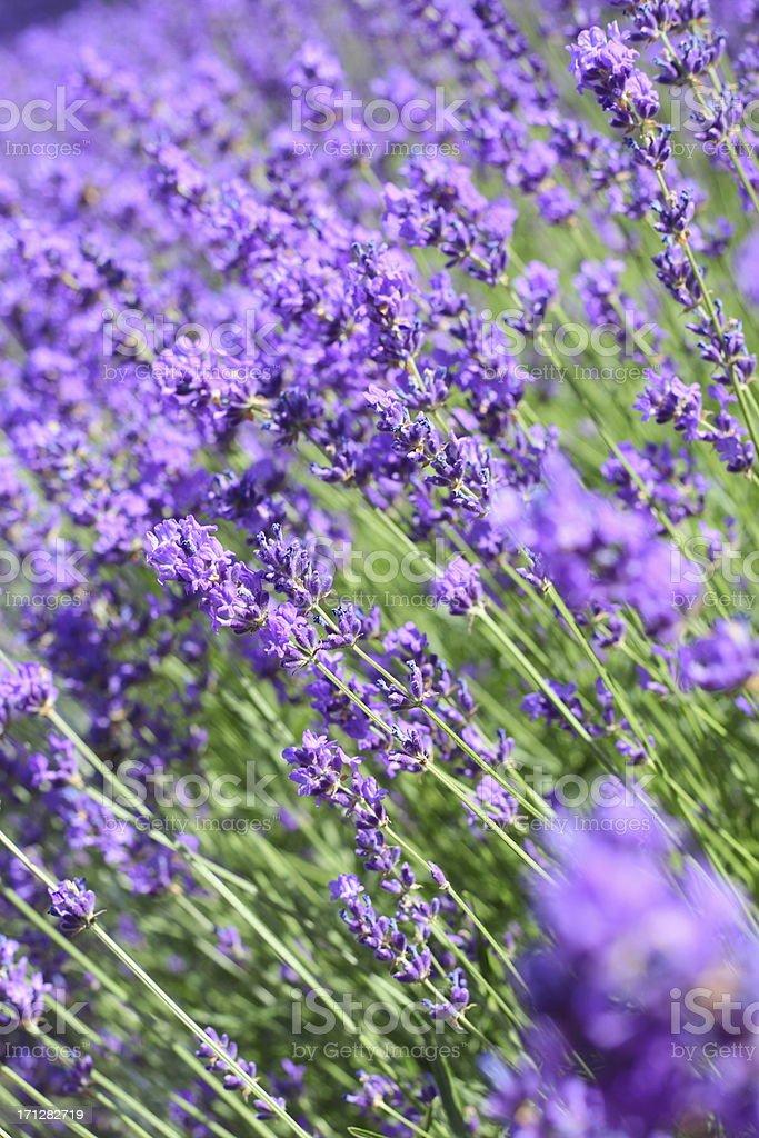 Blühender Lavendel und violett – Foto