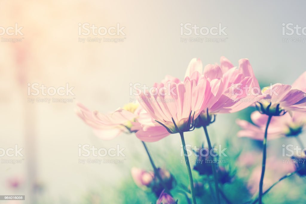 blooming vivid pink cosmos flower in garden with vintage filter - Royalty-free Agricultural Field Stock Photo