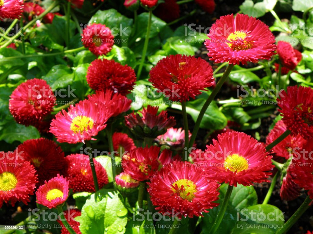 Blooming Vivid Pink English Daisy Tasso Pink Flowers With Morning