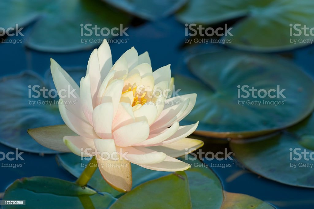 Blooming water lily amongst lily pads on a lake stock photo