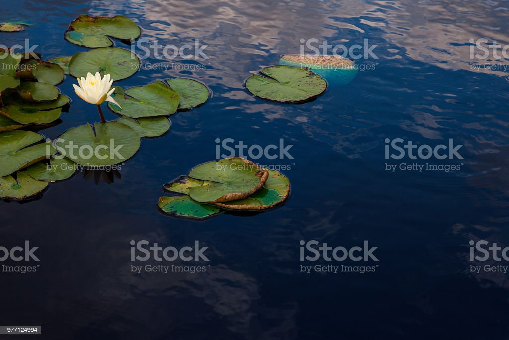 Blooming water lily in small pond with sky reflected. stock photo