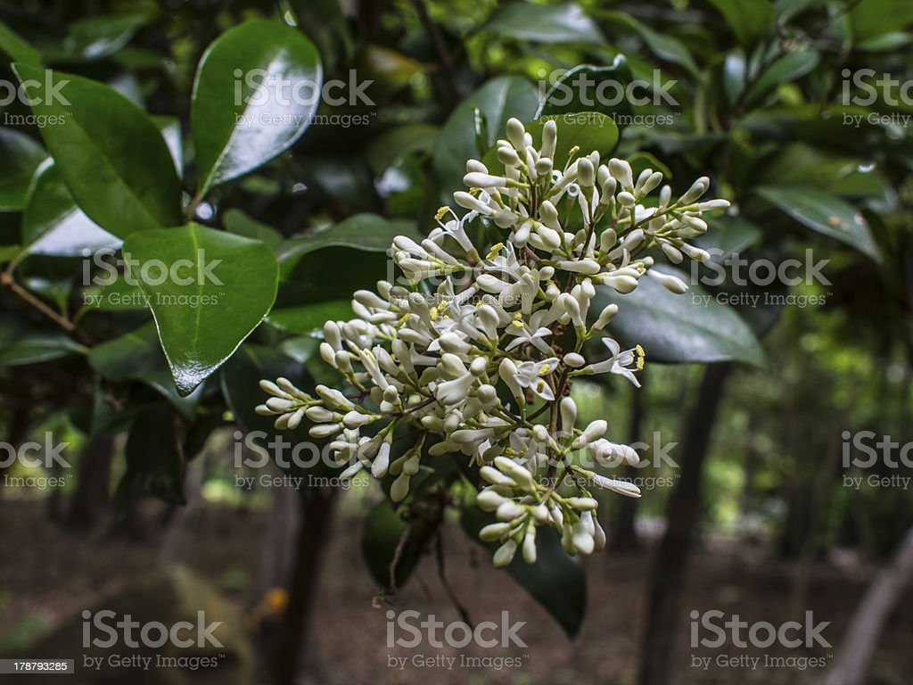 Blooming wax leaf privet or Ligustrum stock photo