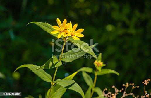 View of blooming western sunflowers ; prairie plants in late summer