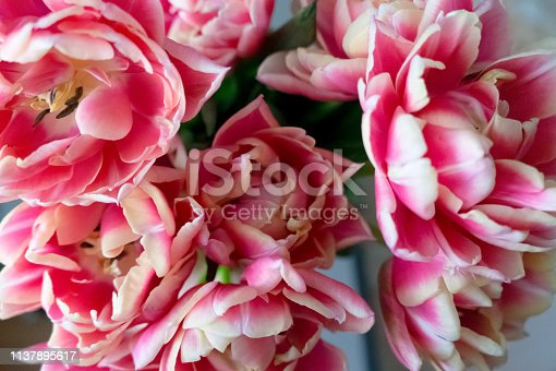 Blooming white and pink tulips with lots of petals. Floral background.