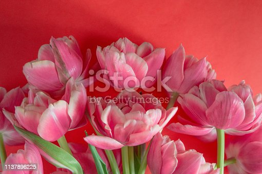 Blooming white and pink tulips with lots of petals on a red background. Background for design.