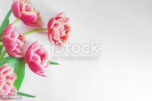 Blooming white and pink tulips with lots of petals on a white background. Place for text. Background for design.