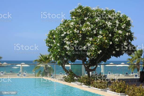 Photo of Blooming white azalea tree  grows next to the pool and the sea beach