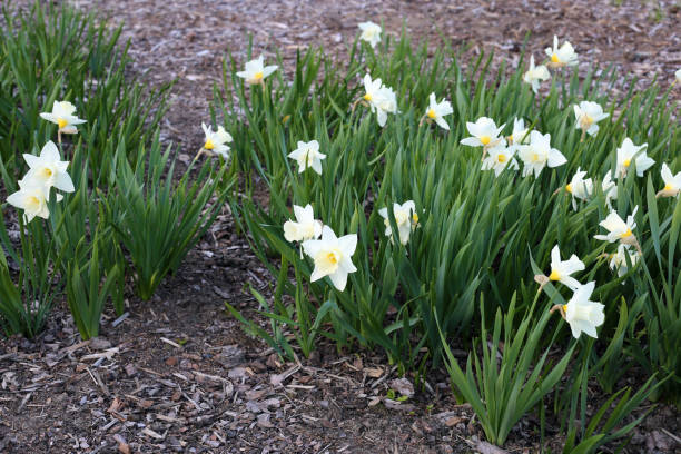 Blooming White Daffodil Flowers - Beautiful Easter Flowers! stock photo