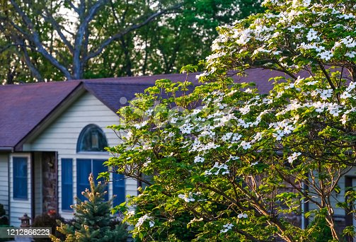 View of blooming white dogwood tree at sunset; Midwestern house in background; spring in Missouri