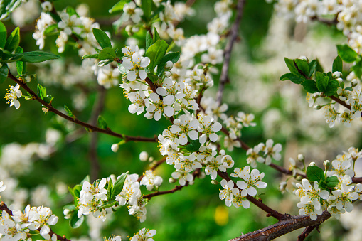 Blooming white flowers of cherry tree on the sunny day.