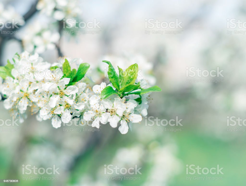 Blooming White Flowers Trees Stock Photo More Pictures Of