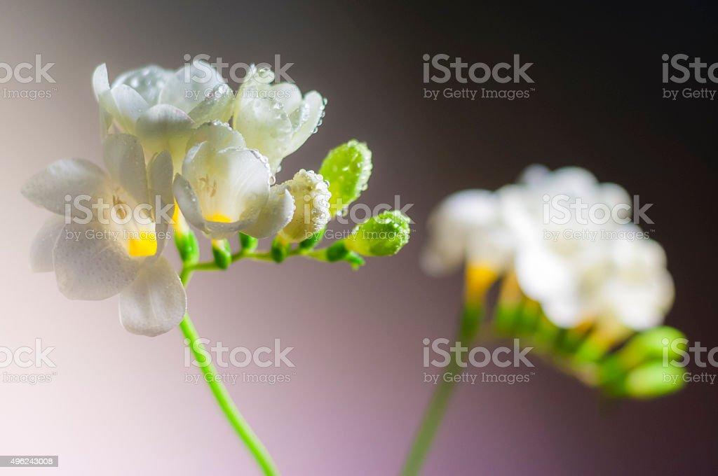 Blooming white freesia flowers stock photo more pictures of blooming white freesia flowers royalty free stock photo mightylinksfo