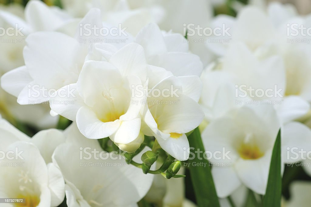 Blooming White Freesia stock photo