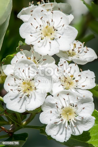 Blooming white May-tree with yellow heart and stem and stamen. The flower is also known as hawthorn, thornapple, whitethorn, or hawberry.