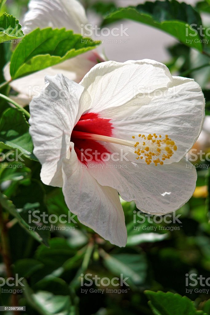 Blooming White Hibiscus Flower Brilliant Red Center Stock Photo