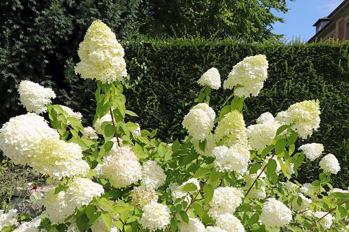 Blooming white hydrangea - Hortensie