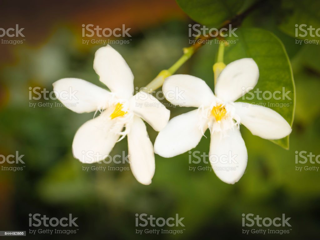 Blooming white Inda flower as a symbol of purity and virgin stock photo