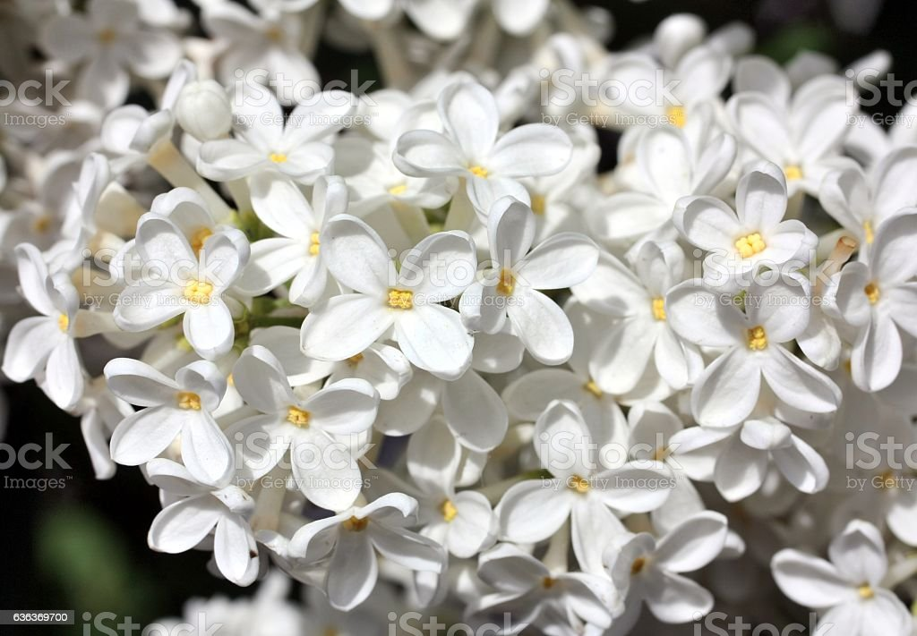 Blooming white lilac flowers. Macro photo. stock photo