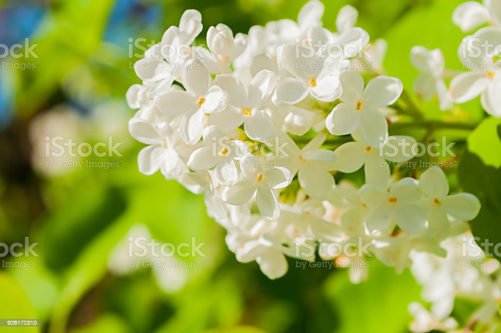 Blooming white lilac flowers spring flower background with white blooming white lilac flowers spring flower background with white lilac royalty free stock photo mightylinksfo
