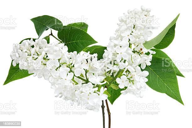 Photo of blooming white lilac (syringa) (isolated )