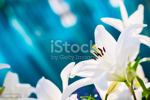 Backgound. Flower. Blooming white lilies on blue background.