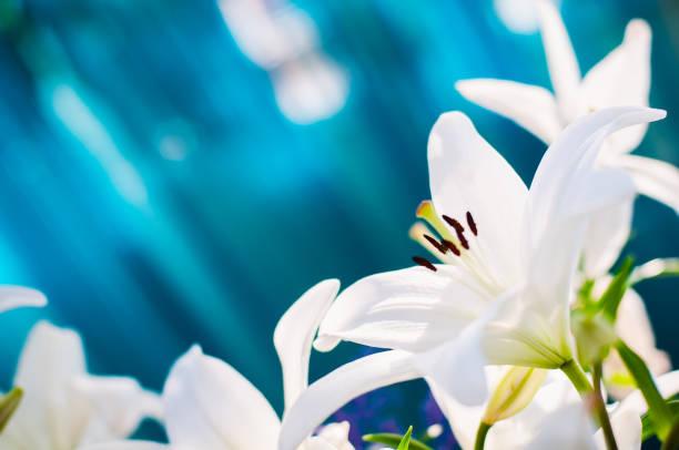 Blooming white lilies picture id1203709717?b=1&k=6&m=1203709717&s=612x612&w=0&h=vp4hdhbixmqicoyrgfgmim ln5piegykvku90evzmee=