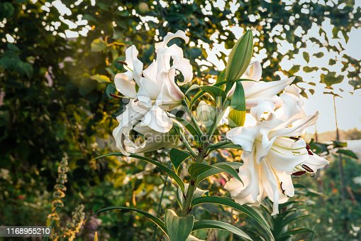 Blooming white lily on a bright summer background. Falling pollen from the stamens, a strong-smelling flower