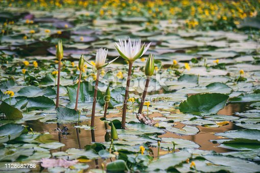 Blooming white lotus on a pond