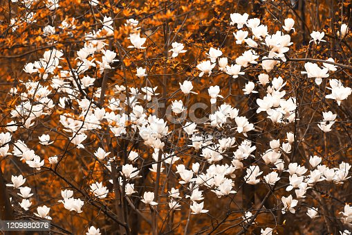 Blooming white magnolia flowers in spring forest, Yunnan, China. Selective focus.