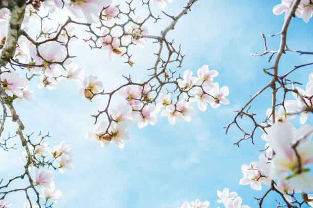blooming white magnolia in spring park and blue sky. floral background - magnolia стоковые фото и изображения