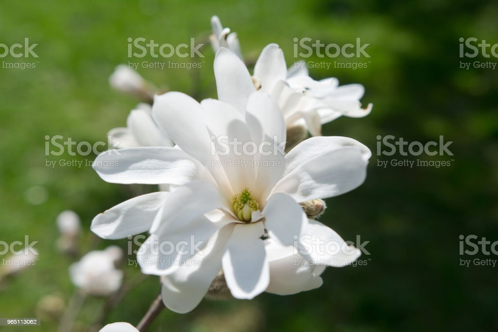 Blooming white Magnolia royalty-free stock photo