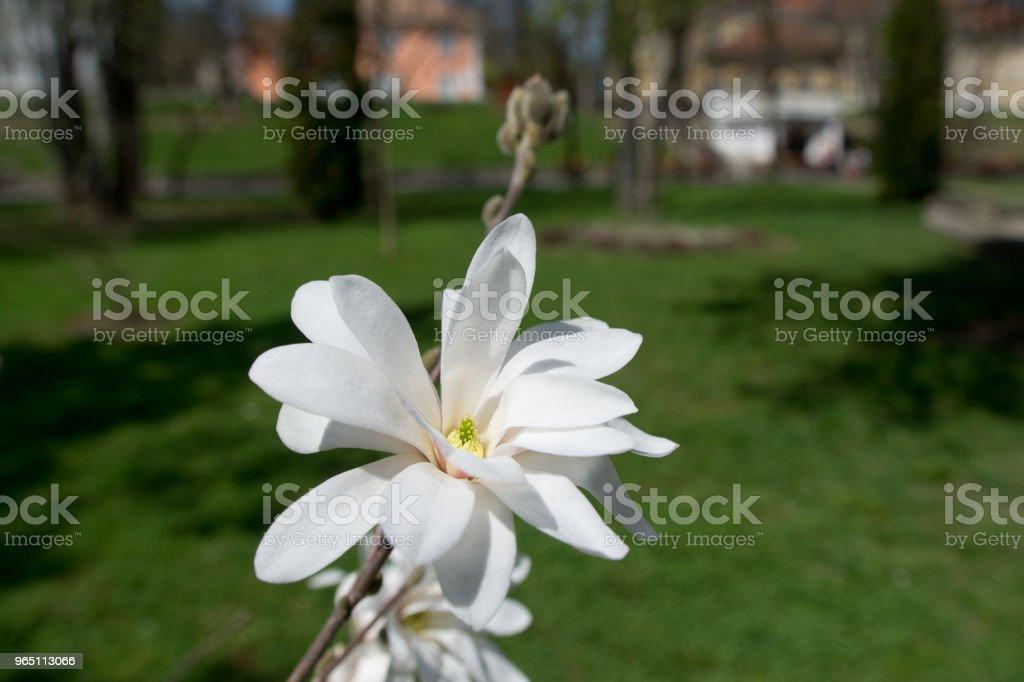 Blooming white Magnolia zbiór zdjęć royalty-free