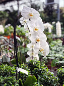 Blooming white orchid on a green branch