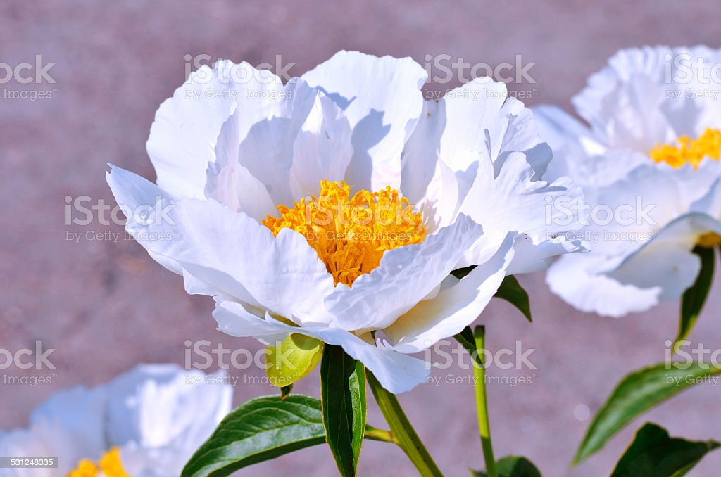 Blooming white peony flowers in the garden stock photo