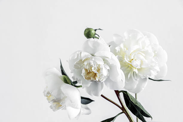 blooming white peony flowers – Foto