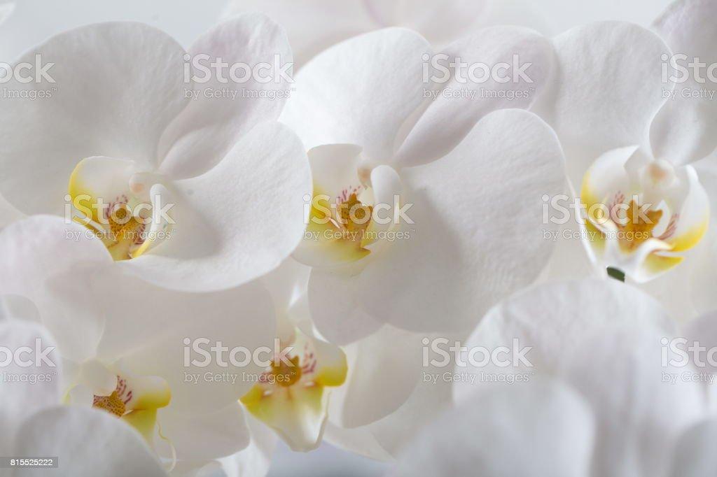 Blooming white phalaenopsis stock photo