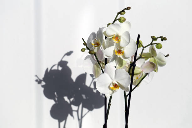 Blooming White Phaleonopsis Orchid Flowers with Beautiful Shadow stock photo