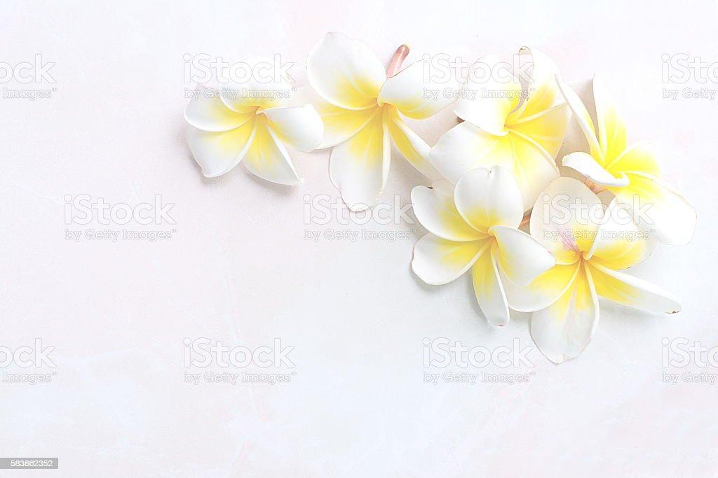 Blooming white Plumeria or Frangipani flowers on white floor bac stock photo
