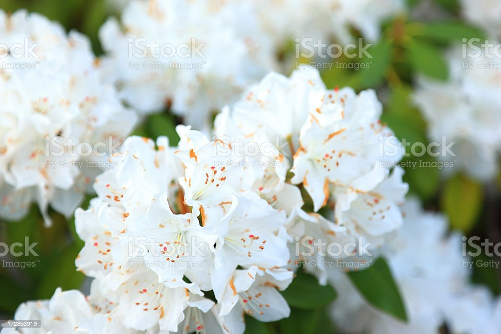 Blooming White Rhododendron royalty-free stock photo