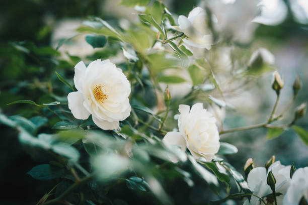 Blooming white roses bush picture id961294088?b=1&k=6&m=961294088&s=612x612&w=0&h=vczc5jjwfzjyjw bus6bawus90tczthdzpkdpsrhfeg=