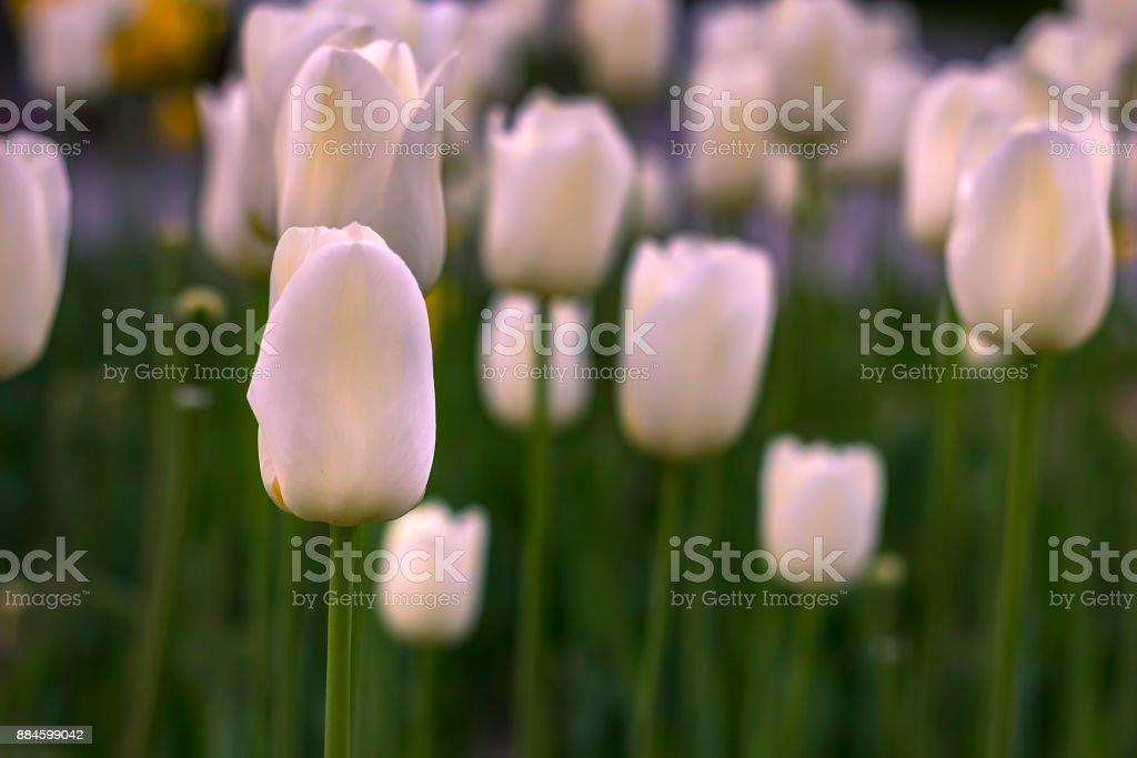 blooming white tulips stock photo