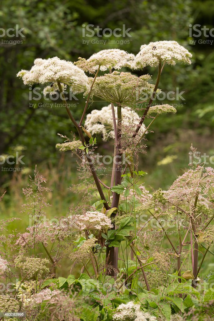 Blooming wild Angelica, Angelica sylvestris stock photo
